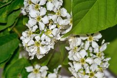 The blossoming bird cherry bush. Bush of the blossoming bird cherry closeup Stock Photos