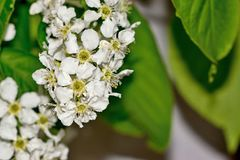 The blossoming bird cherry bush. Bush of the blossoming bird cherry closeup Stock Image