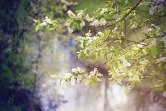 Blossoming bird cherry flowers on the background of the river royalty free stock photos