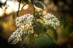 Blossoming bird-cherry. Flowers bird cherry tree. beautiful blooming branch of birdcherry on sunny spring day in garden. Flowering bird cherry bush in the light stock images