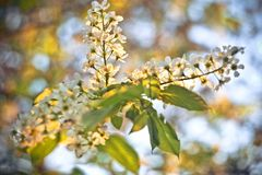 Blossoming bird-cherry. Flowers bird cherry tree. beautiful blooming branch of birdcherry on sunny spring day in garden. Blossoming bird-cherry. Flowers bird royalty free stock photos