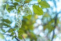 Blossoming bird-cherry. Flowers bird cherry tree. beautiful blooming branch of birdcherry on sunny spring day in garden. Blossoming bird-cherry. Flowers bird stock photography