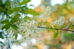 Blossoming bird-cherry. Flowers bird cherry tree. beautiful blooming branch of birdcherry on sunny spring day in garden. Blossoming bird-cherry. Flowers bird royalty free stock photo