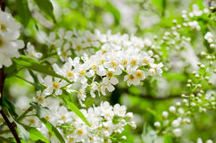 Blossoming Bird Cherry In The Spring Royalty Free Stock Images