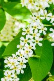 Blossoming bird cherry Prunus padus on the soft sunlight. Flowers bird cherry tree close-up. Macro Photo blooming hagberry royalty free stock photo