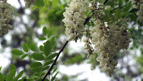 Blossoming black locust flowers , gently swaying blown by a  spring breeze stock footage