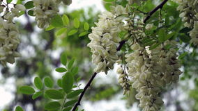 Blossoming black locust flowers , gently swaying blown by a  spring breeze stock video
