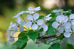 Blossoming blackthorn. In the garden, �lose-up of blackthorn flowers royalty free stock image
