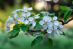Blossoming blackthorn in garden. Blossoming blackthorn in the garden, sprig of flowering plum royalty free stock photo