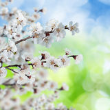 Blossoming, blooming apricot Stock Images