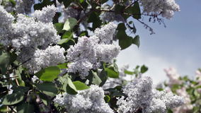 Blossoming blue lilac stock footage
