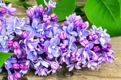Blossoming blue lilac Royalty Free Stock Image