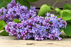 Blossoming blue lilac Royalty Free Stock Images