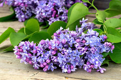 Blossoming blue lilac Royalty Free Stock Photo