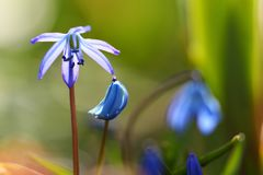 Blossoming blue stars in spring. A Blossoming blue stars in spring Stock Images