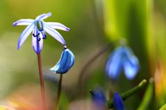 Blossoming blue stars in spring. A Blossoming blue stars in spring Royalty Free Stock Image