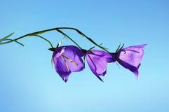 Blossoming bluebell wildflowers Стоковая Фотография