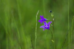 Blossoming bluebell & x28;Campanula patula& x29; Royalty Free Stock Images
