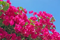 Blossoming Bougainvillea Royalty Free Stock Photography