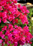 Blossoming bougainvillea flowers Royalty Free Stock Image