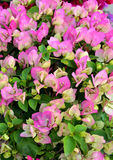 Blossoming bougainvillea flowers Stock Images