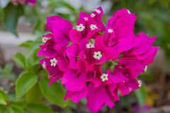 Blossoming Bougainvillea flowers. Stock Images