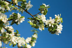 Blossoming branch Stock Image