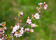 Blossoming branch Stock Images