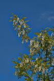 Blossoming branch of acacia. Royalty Free Stock Photo