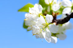 Blossoming branch of apple against the blue sky and green leaves Stock Photography