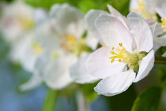 Blossoming branch of an apple-tree. In the spring garden Stock Photography