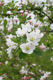 Blossoming branch of an apple-tree. In day Stock Photography