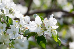 Blossoming branch of an apple-tree Stock Photography