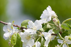 Blossoming branch of an apple-tree Royalty Free Stock Image
