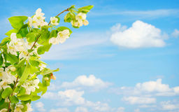 Blossoming branch of apple tree against blue sky Stock Photo