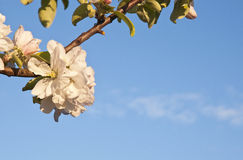Blossoming branch of apple tree against blue sky at sunset light. Spring blossom Stock Photos