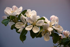 Blossoming branch of an apple tree. Stock Images