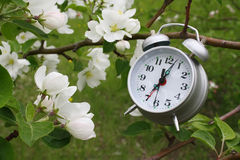 Blossoming branch of an apple-tree and alarm clock. In day Stock Photos