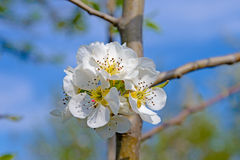 Blossoming branch of a apple tree Royalty Free Stock Photo