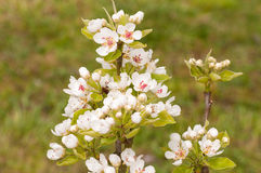 Blossoming branch of an apple tree Stock Photo