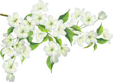 Blossoming branch of apple tree Stock Photo