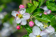 Blossoming branch of a apple tree Stock Images