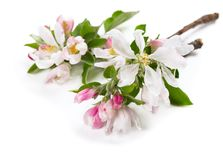 Blossom of apple twig. Close up. Royalty Free Stock Photo