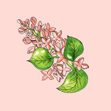 Blossoming branch of apple tree on pink background. Watercolor floral illustration. Stock Image