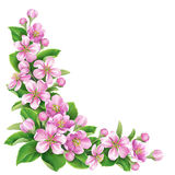 Blossoming  Branch. Blossoming apple tree branch with pink  flowers  isolated on white Stock Images