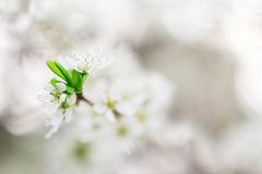 Blossoming branch of apple-tree in sunny day Royalty Free Stock Image