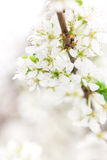 Blossoming branch of apple-tree in sunny day Stock Photo