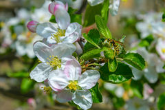 Blossoming branch of a apple tree Royalty Free Stock Photography