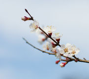 The blossoming branch apricots, largely Stock Photo