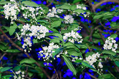 Blossoming branch of a bird cherry Royalty Free Stock Photo